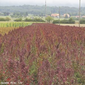 2013 Ökologischer Landbau in Peru Bsp. Quinoa