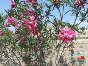 Biologische-Pestizide-Peru-Baumwolle