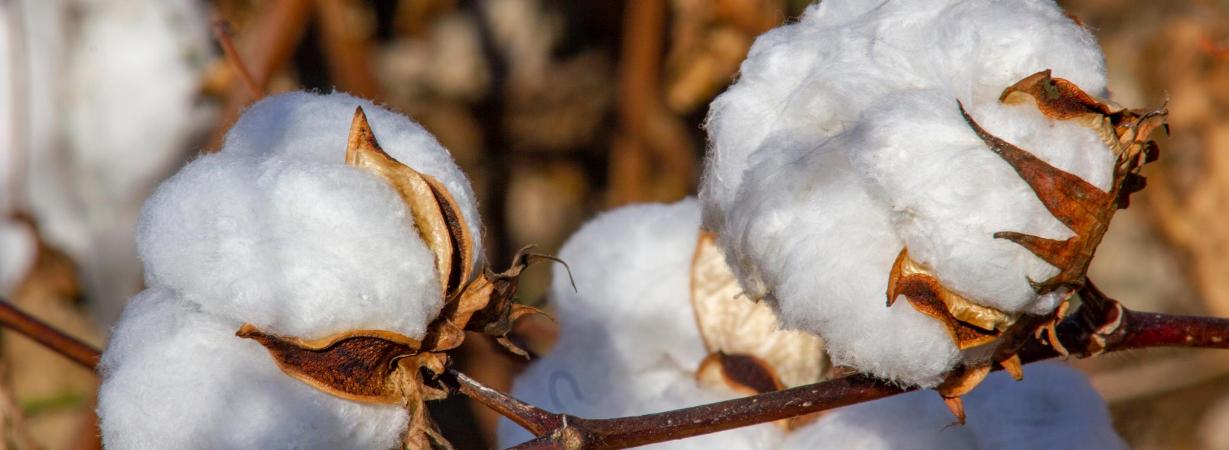 Was ist Pima Baumwolle - Baumwollfeld