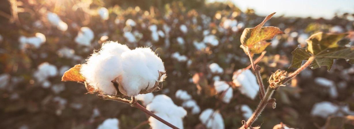 Das Foto zeigt ein Feld mit reifer Pima Baumwolle