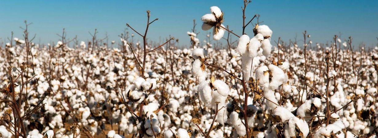 Tanguis Baumwolle zur Erntezeit