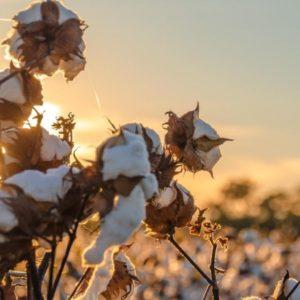 Tanguis Baumwolle aus Zentralperu