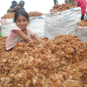 Peruanisches Mädchen sitzt in Rohbaumwolle - farbig gewachsene Baumwolle