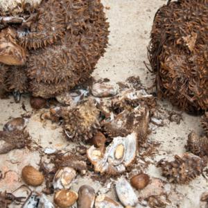 Steinnuss Samen aus dem Regenwald