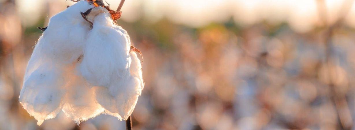 Ist Baumwolle umweltschädlich in ihrem natürlichen Umwelt