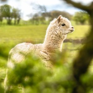 Alpaca_Wool_Alpaka_Wolle_Chill n Feel